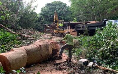 Albizia Tree Removal Kauai