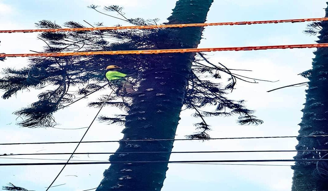 Arborists on Kauai (Dangers and Safety Concerns)