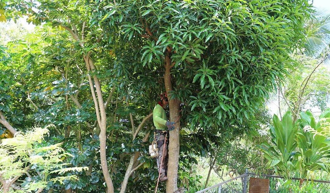 Mango Tree Removal Kauai