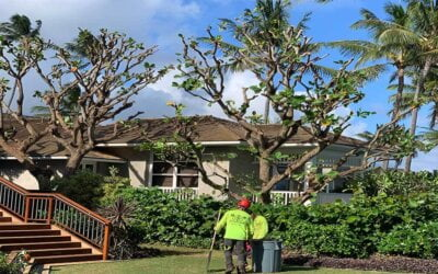 Properly Maintaining Trees on Kauai