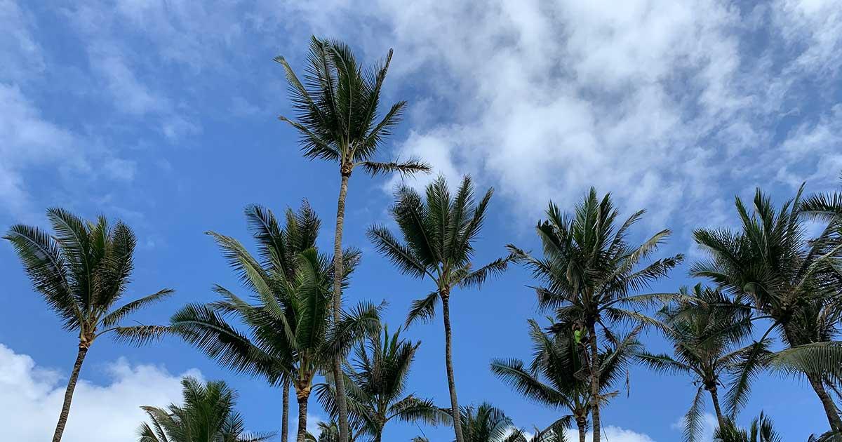 Trimming Trees In Kilauea Kauai