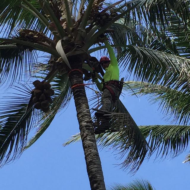 Spikeless Palm Tree Trimming - Isaiah's Tree Service - Serving Kauai