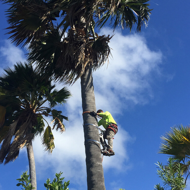Spikeless Palm Tree Trimming - Isaiah's Tree Service - Serving Kauai for Over 10 Years