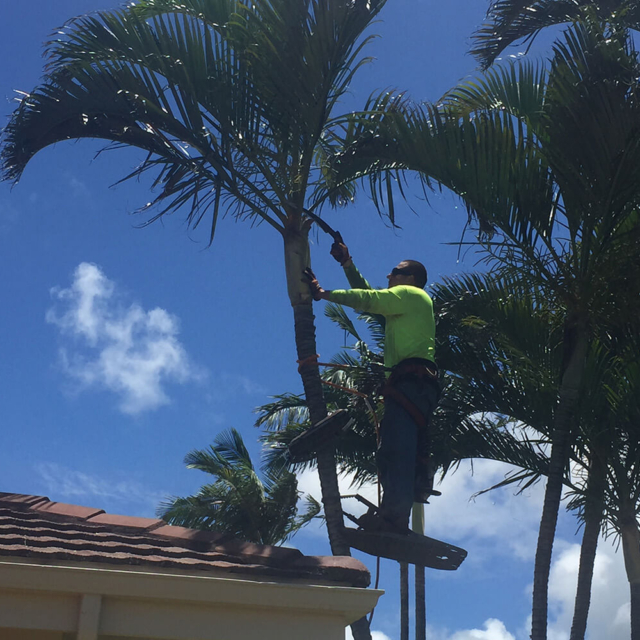 Spikeless Palm Tree Trimming - Isaiah's Tree Service - Hand Trimming
