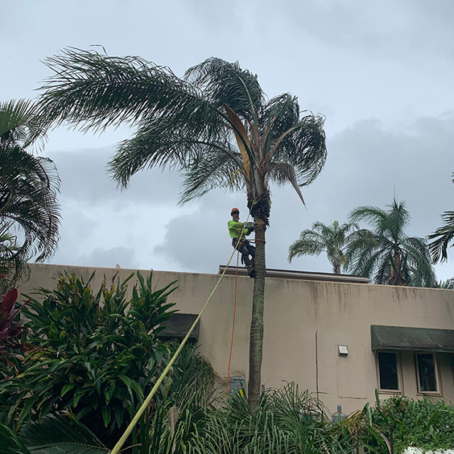 Isaiah's Tree Service - Palm Tree Trimming & Removal