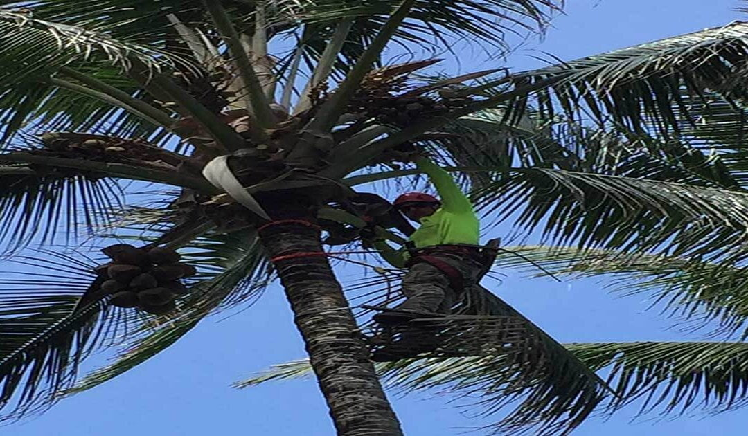3 Reasons Why Palm Tree Trimming is Beneficial