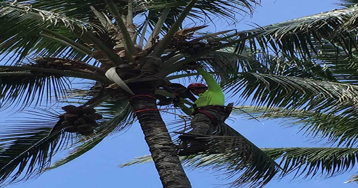 Importance of Palm Tree Trimming - Isaiah's Tree Service