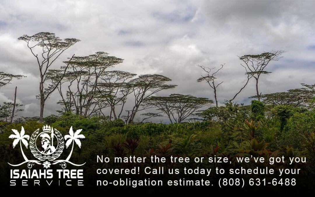 The History Of Albizia Trees On Kauai And How To Take Care Of Them