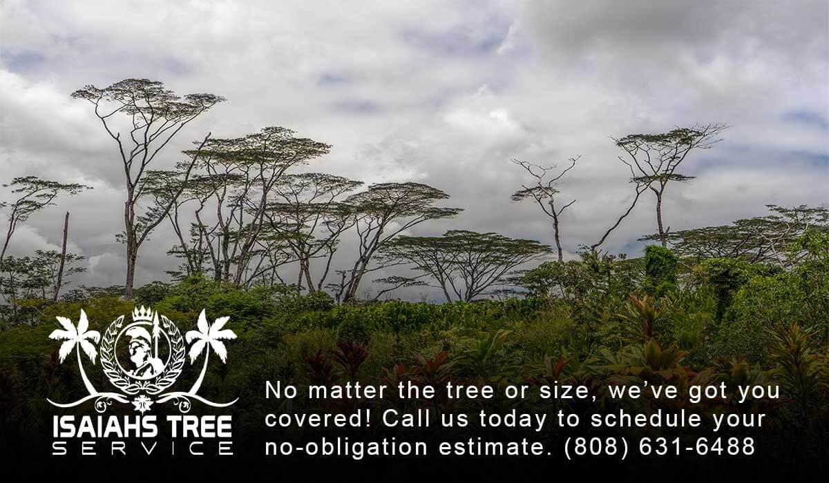 Albizia Trees On Kauai - Isaiah's Tree Service