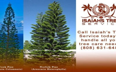 The Cook Pine Tree and Its Significance to Kauai
