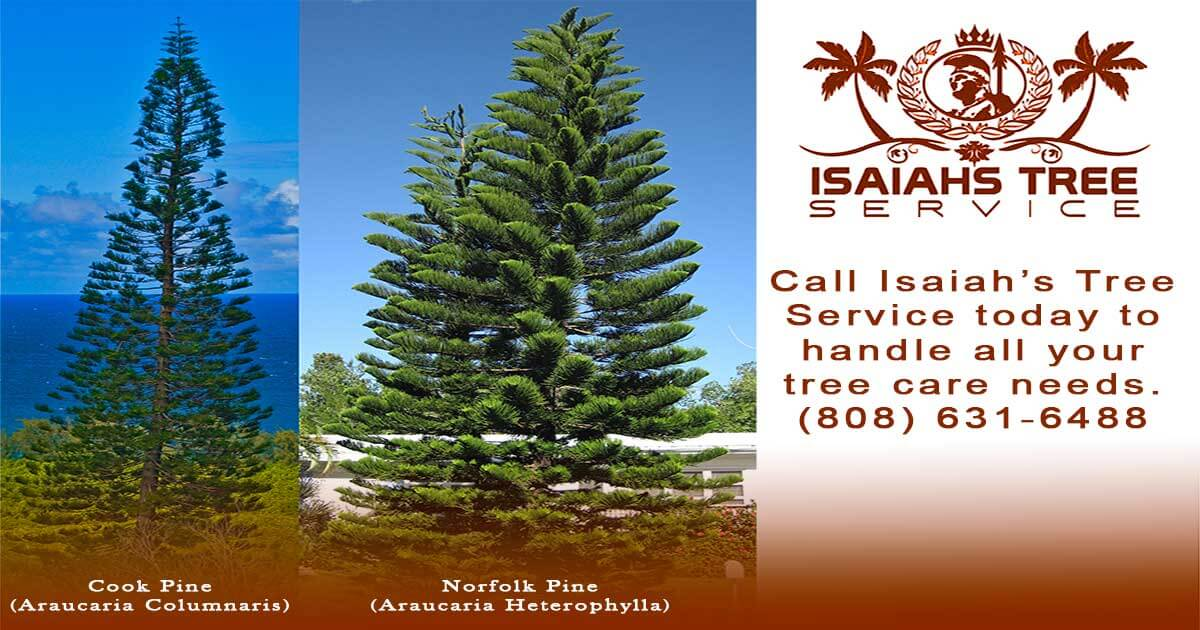 Difference Between Norfolk Pine and Cook Pine - Isaiah's Tree Service