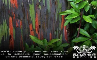 Discover The Natural Wonder of Hawaii's Rainbow Eucalyptus Trees