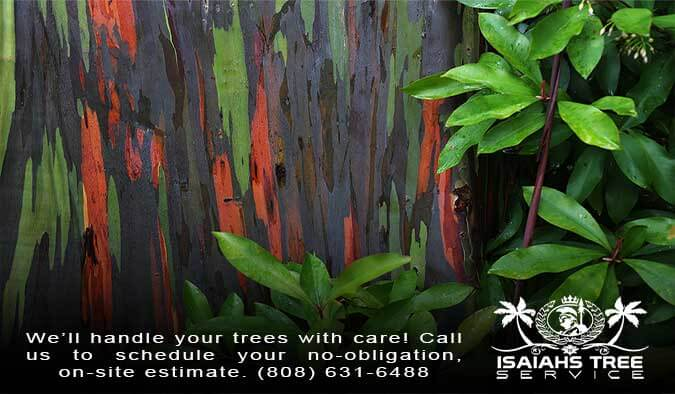 Discover The Natural Wonder of Hawaii's Rainbow Eucalyptus Trees